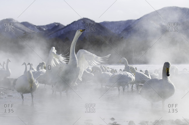 Group of beautiful swans at Kussharo Lake in Hokkaido, Japan
