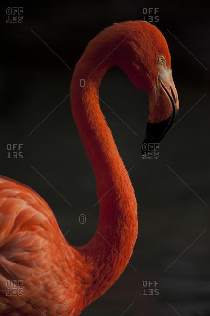 Portrait of American Flamingo in Ueno Zoo, Tokyo