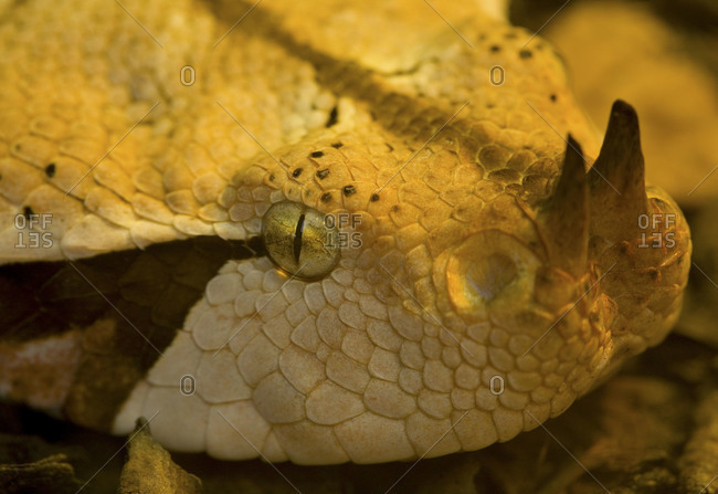 Close up of gaboon viper at Chester Zoo in Cheshire, England