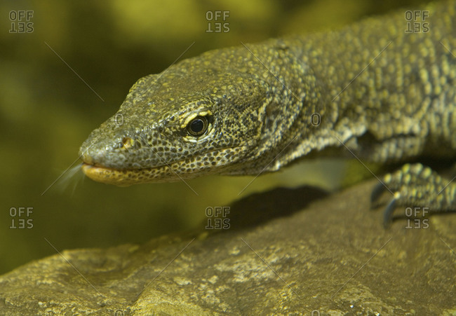 Portrait of komodo dragon at Chester Zoo in Cheshire, England