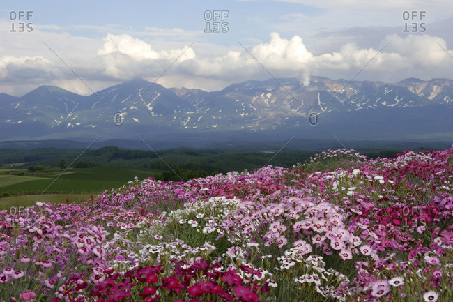 Beautiful flower field of dianthus superbus