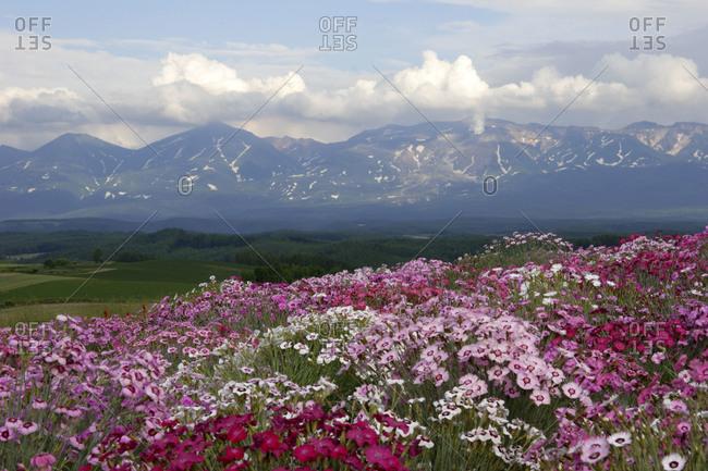 Beautiful flower field of dianthus superbus