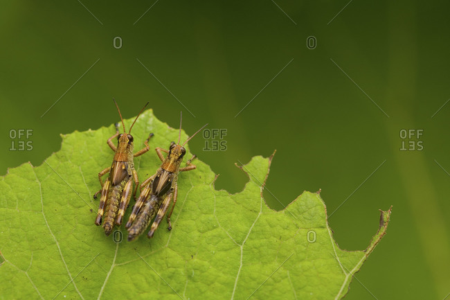 Two grasshoppers on green leaf from above
