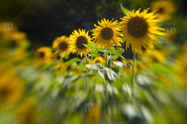 Blurred line of sunflowers