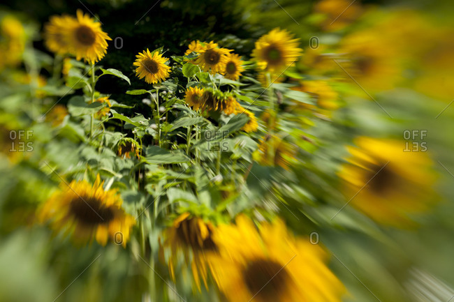Blurred line of sunny sunflowers