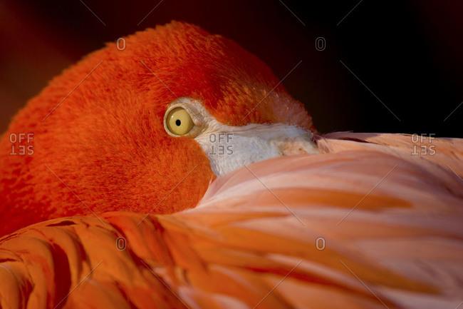 A flamingo hides it's beak in it's feathers