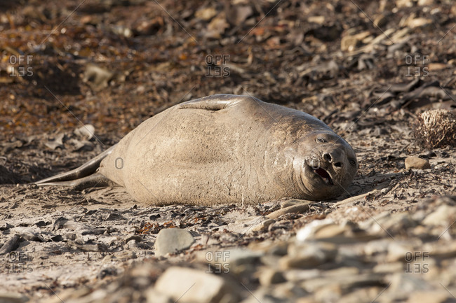 An elephant seal relaxes on the shores of the Falkland islands