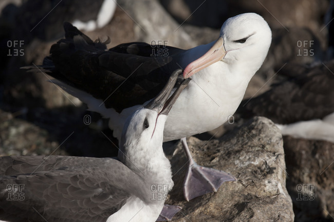 Two albatrosses outside together in the Falkland islands