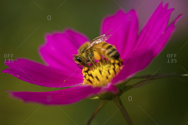 A bee gathering nectar from a cosmos flower