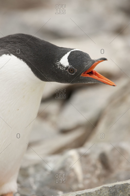 Gentoo penguin squawks on the rocks of Patagonia