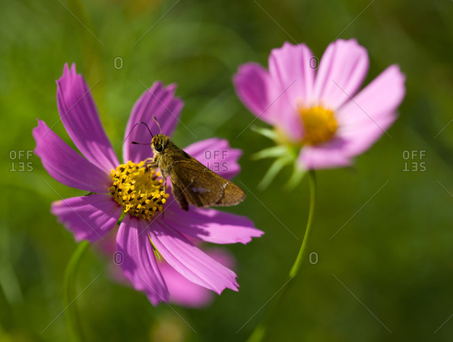 A common straight swift butterfly perched on a cosmos flower