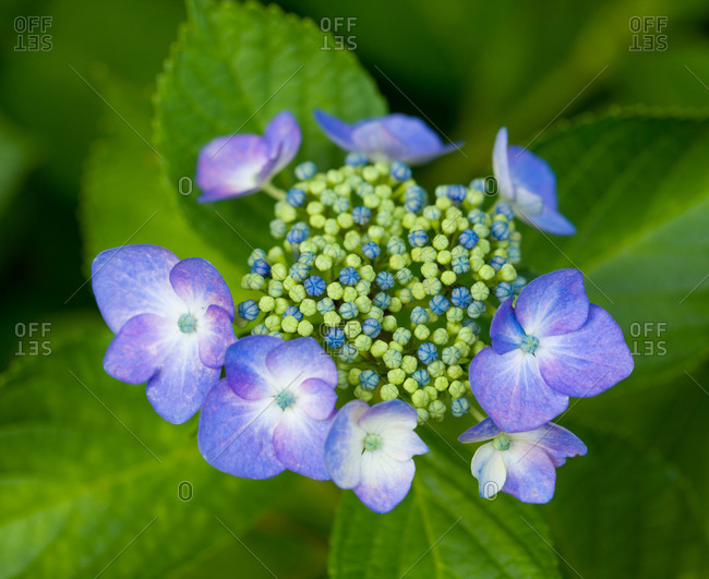 Blossoming blue hydrangea plant