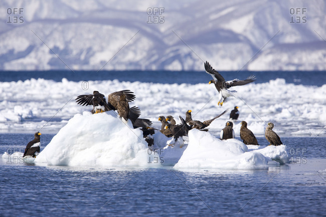 A group of staller's sea eagle perched on some ice in the water