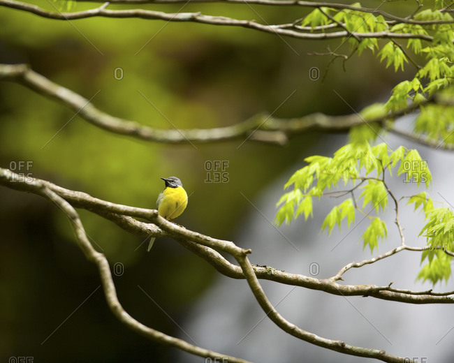 A grey wagtail bird perched on a branch of a green Japanese maple tree