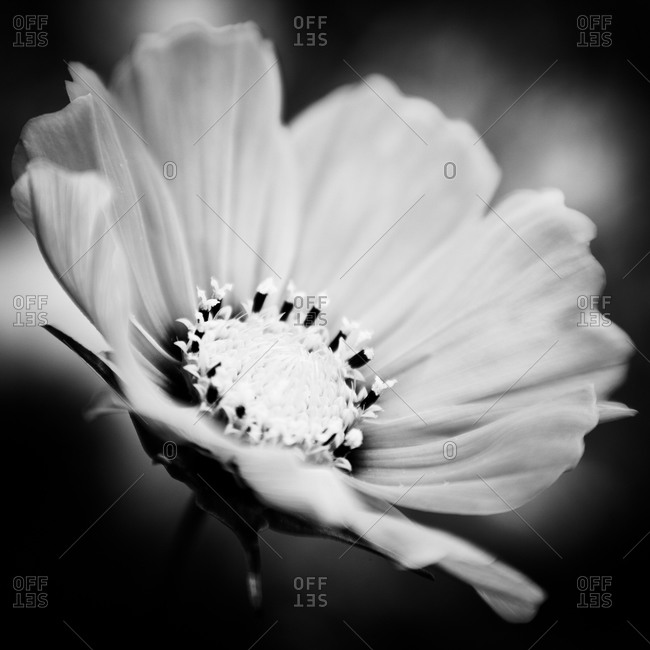 A close up of a blooming Cosmos flower