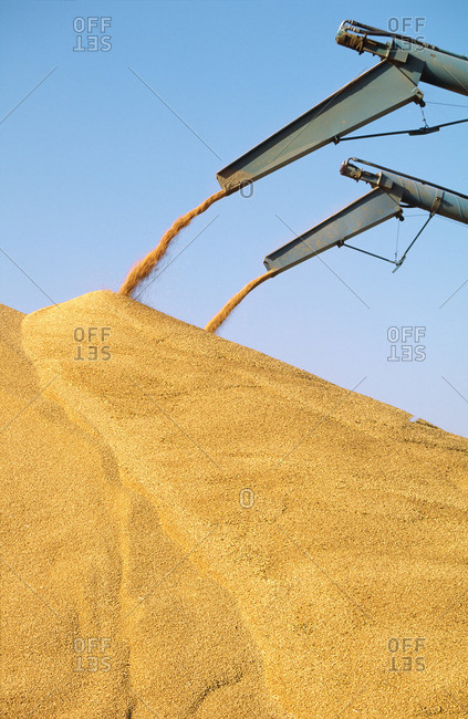 Harvested Wheat Piled into outdoor Bunker, Australia