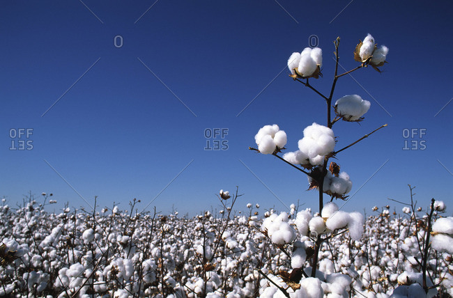 Close-up of Cotton Plant, Australia