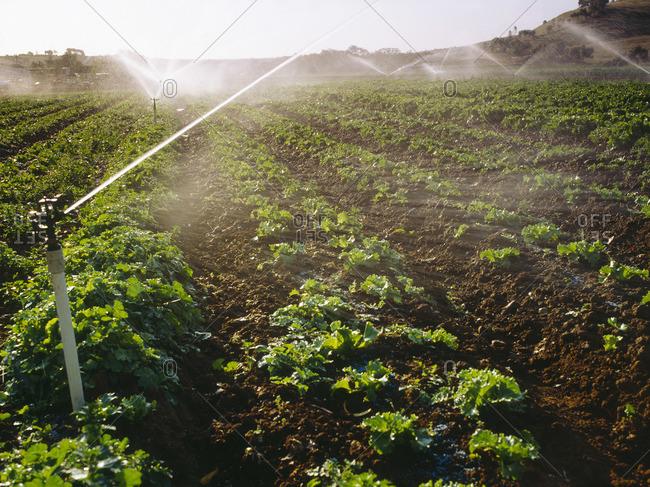 Spray Irritation, Market Garden, Lettuce