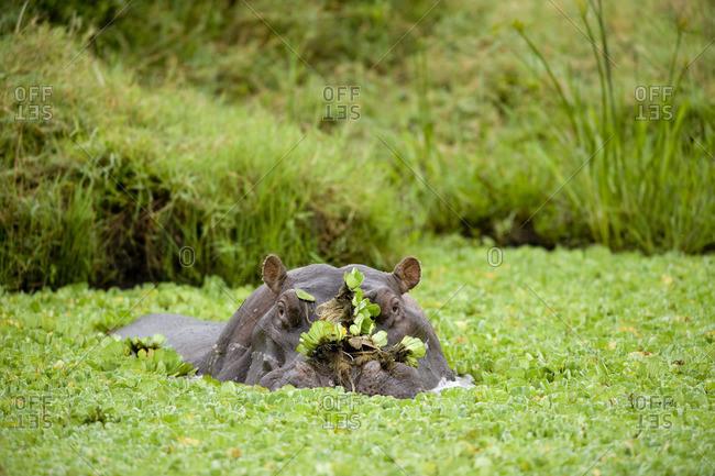 Hippopotamus in Pond, Masai Mara, Kenya