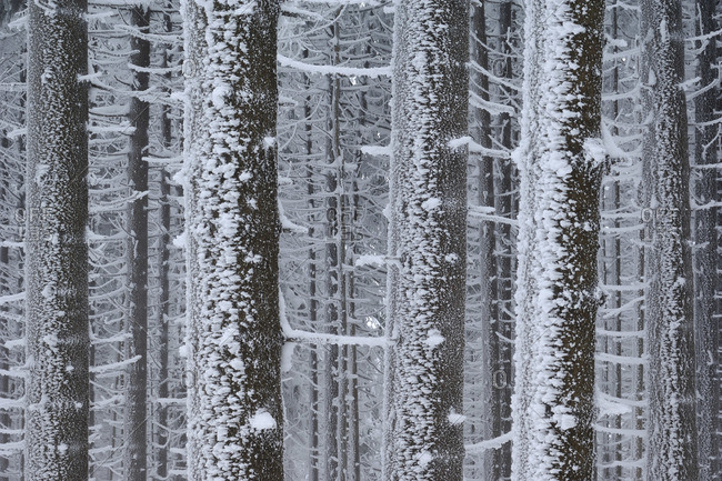Frost on Trees in Winter, Hochharz National Park, Saxony-Anhalt, Brocken, Germany