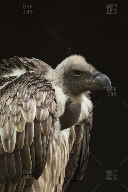 Close-Up of African White-Backed Vulture