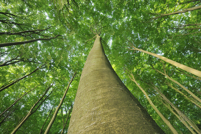 Looking up at Beech Trees, Jasmund National Park, Ruegen Island, Mecklenburg-Vorpommern, Germany