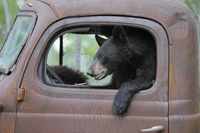 Black Bear in Old Truck, Minnesota, USA