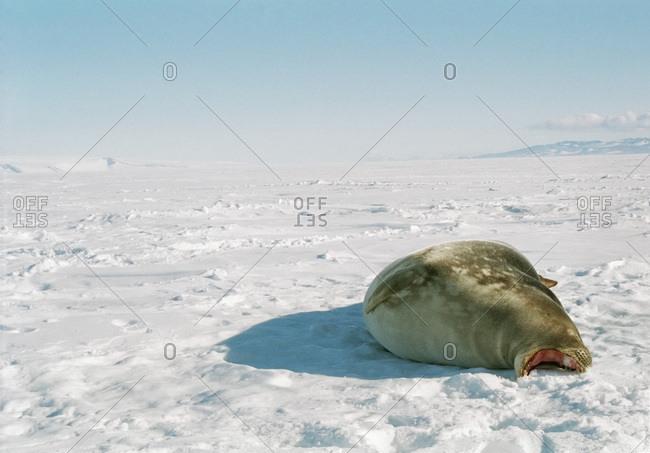 Weddell Seal on Frozen Ross Sea, Ross Island, Antarctica