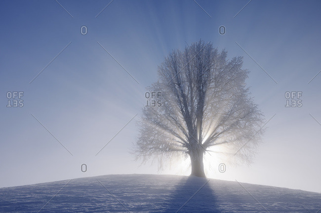 Lime Tree on Hill with Sunbeams, Canton of Zug, Switzerland
