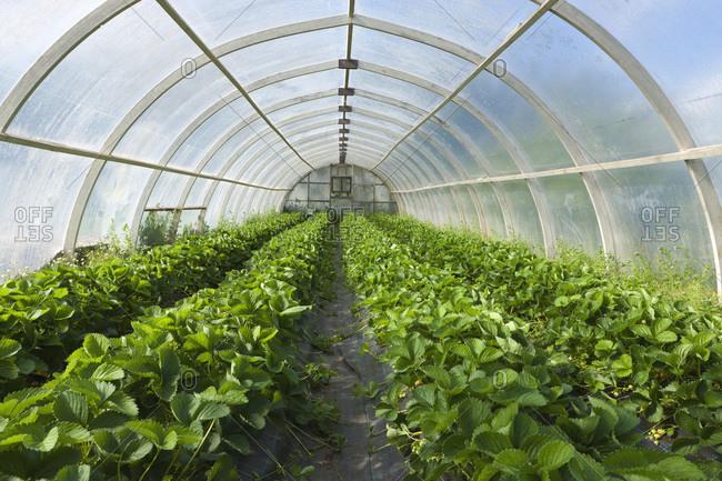 Organic Strawberry Plants, South Iceland, Iceland