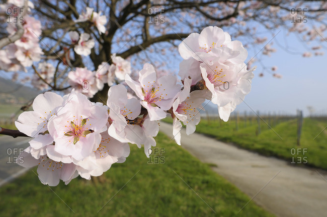 Almond Blossoms Along Path in Spring, Gimmeldingen, Rhineland-Palatinate, Germany