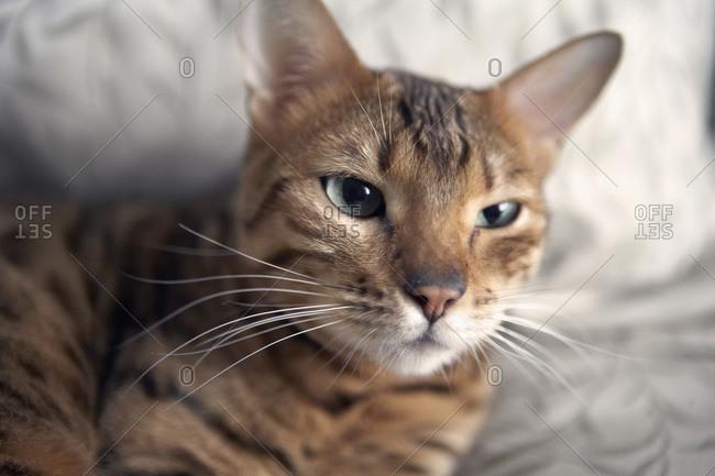 Bengal Cat, Ontario, Canada