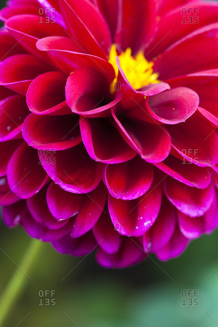 Close-up of Pompom Dahlia