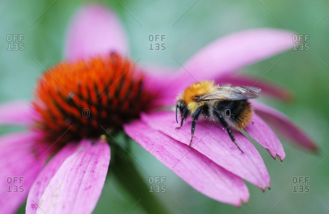 Bumblebee sitting on Cone flower