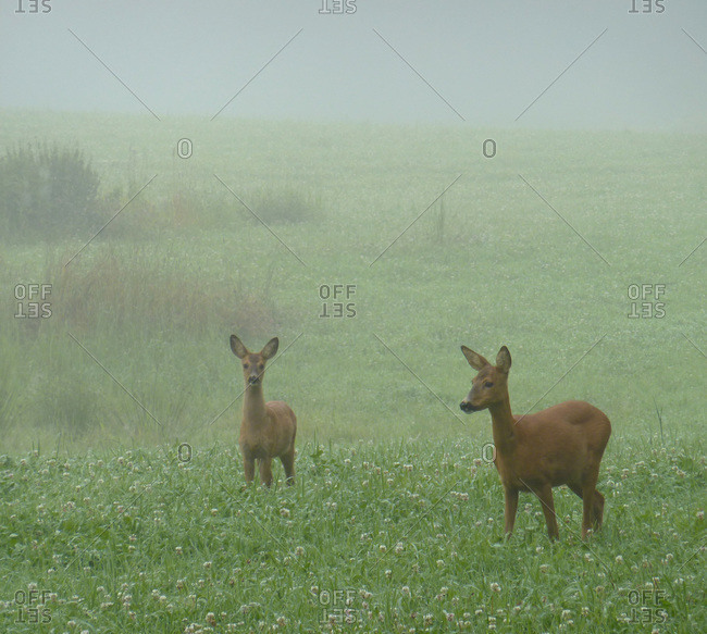 Roedeers on summer meadow