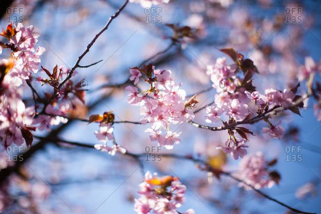 Cherry tree flowering in early spring