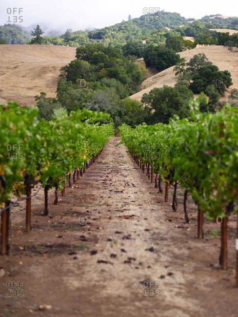 Beautiful vineyard with long rows