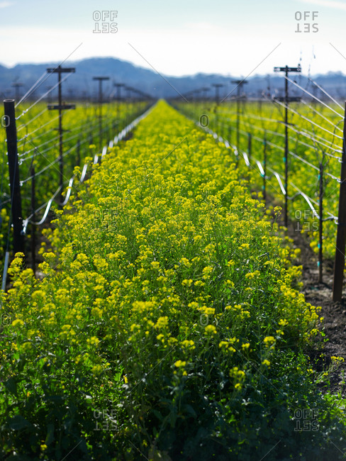 Grapevine rows and rapeseed in spring