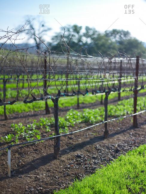 Grapevine rows in spring