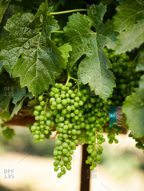Green grapes on plant in vineyard in spring