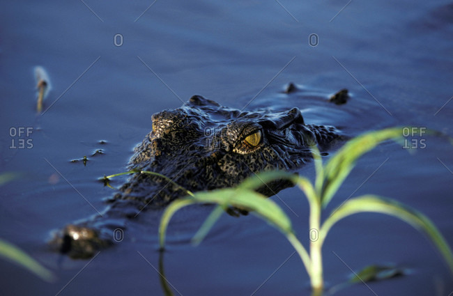 A Saltwater Crocodile submerged and stalking prey in a wetland