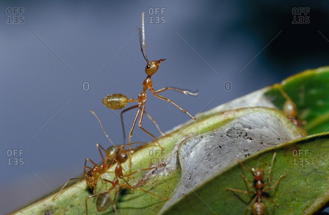 A Green Tree Ant standing on its hind legs defending it's nest colony