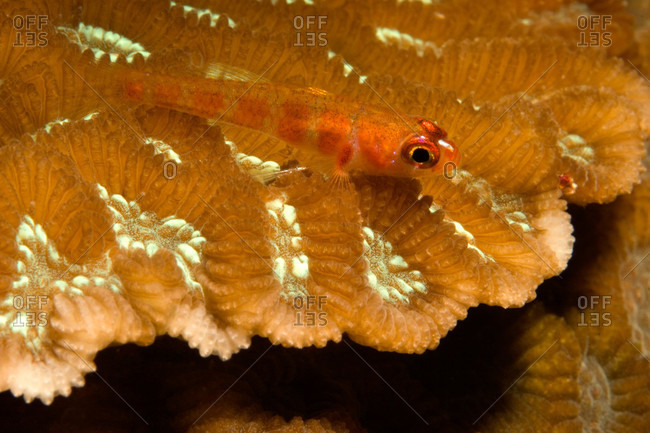 Candy-cane Goby rests on a hard coral with patches of flourescence