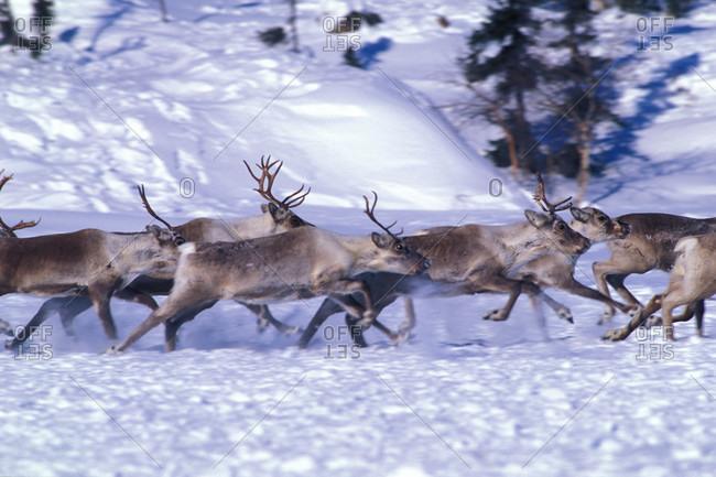 Barren-ground Caribou run across the snow