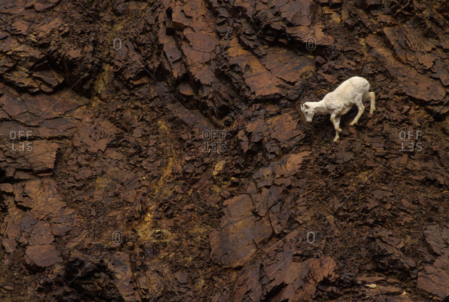 dall sheep were is very adapt at crossing the cliff in Alaska