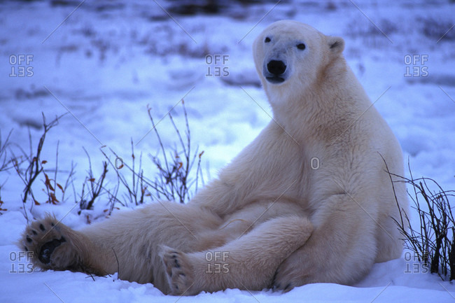 A polar bear sits in the snow