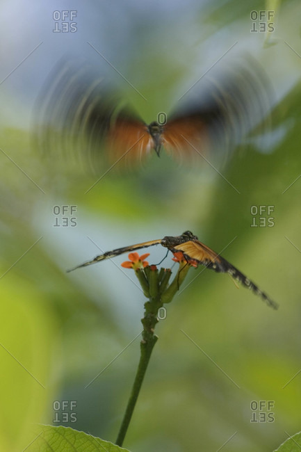 Swallow-tail Butterflies, Manuel Antonio National Park, Costa Rica