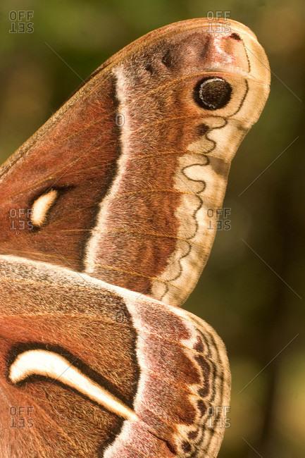 Wing detail of a Ceanothus Silk Moth (Hyalophora eurualus)