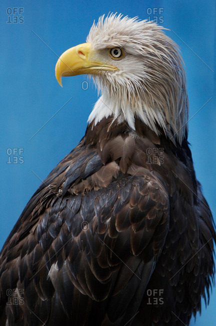 Captive bald eagle at the Visitors Center in Juneau