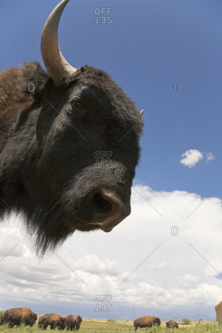 A bison peers at the camera